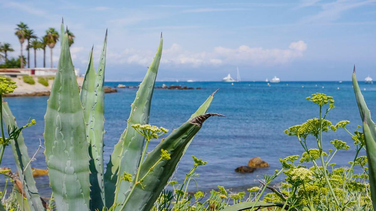 Eine Kakutsaehnliche Pflanze an der Cote d Azur, einem schoenen Reiseziel fuer das Fruehjahr