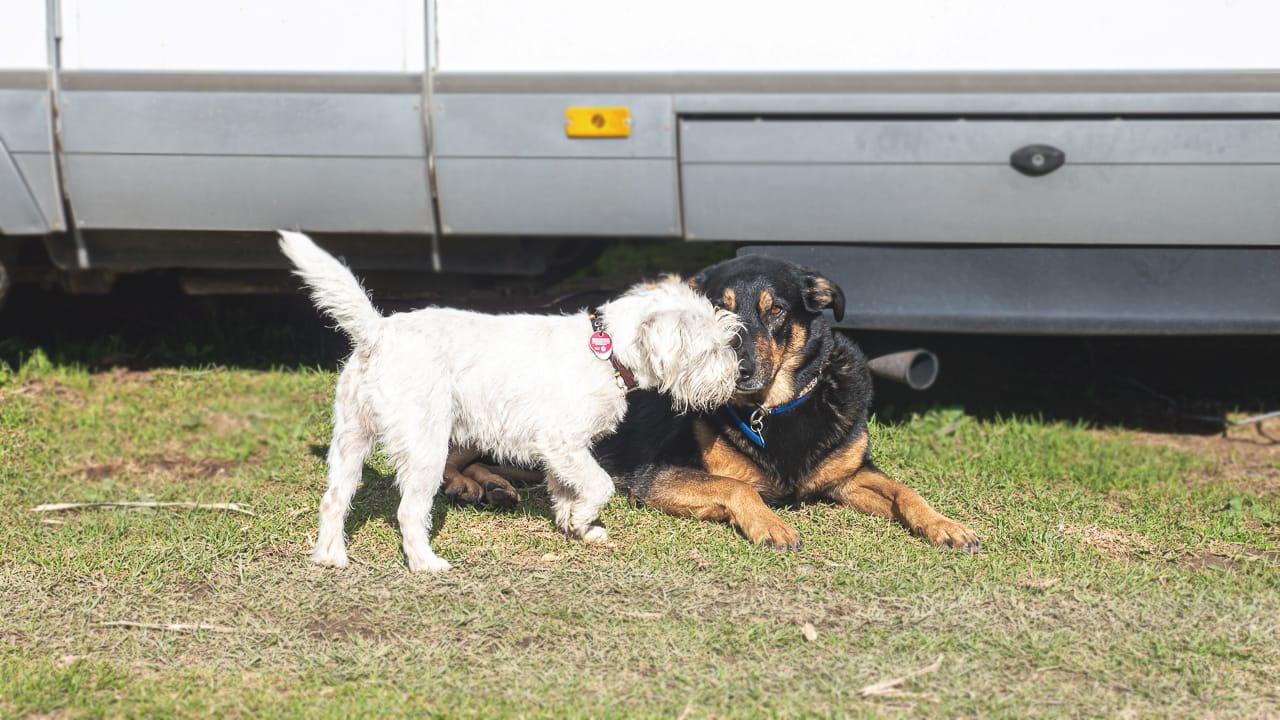 Zwei Hunde vor dem Camper auf einem hundefreundlichem Campingplatz